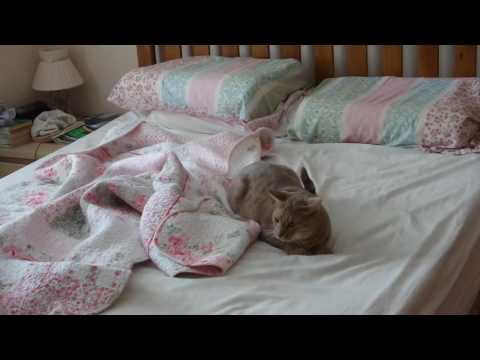 Playful Ocicat chasing imaginary mice