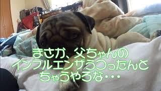 我が家の愛犬パグ「サクラ」サクラ今日はどうした?大寝坊.