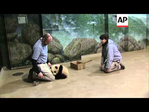 The latest Giant Panda cub at the Smithsonian's National Zoo weighs in right on target for a happy,