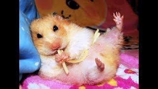 Уборка в клетках хомяков (часть 1) / Cleaning hamster's cages
