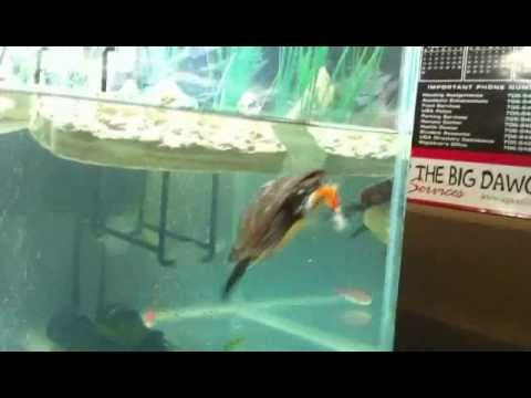 Painted Turtle Attacking Fish and Hand Feeding