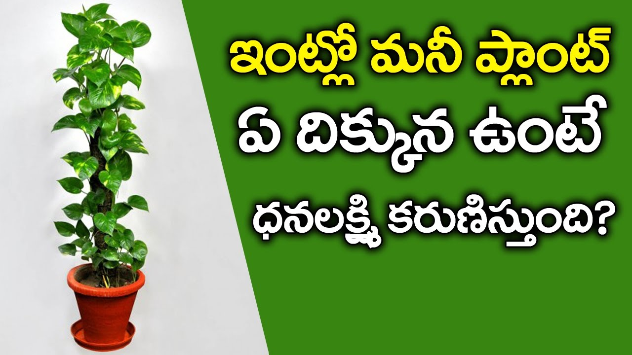 Shocking Facts About Money Plant | How to Grow Money Fast | Amazing Science  Facts | VTube Telugu