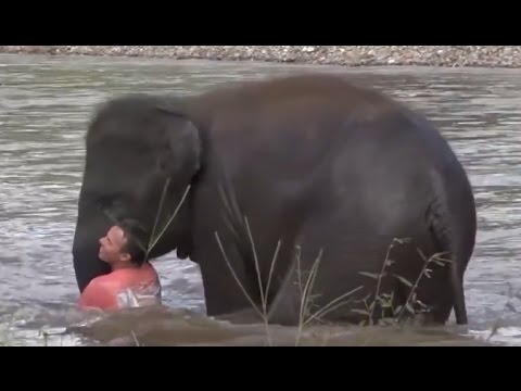Baby Elephant Rushes Into River To Rescue Trainer
