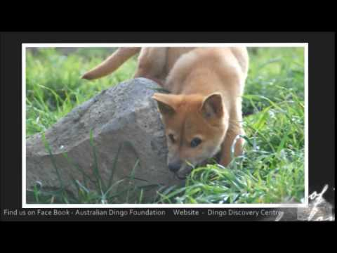 Australian Dingo Discovery and Hypnotic Tribal Groove by Matt James