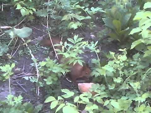 Белочка кушает хлеб в Винницкой области