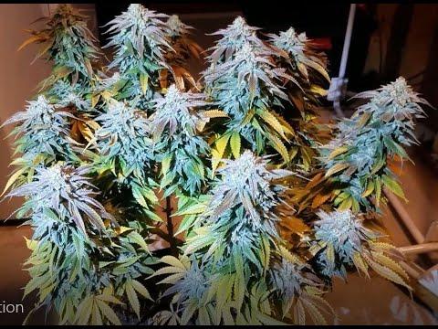 Grow 1 Compilation: Week 5 To Harvest: HLG 260, 3x3, Milk N Cookies Grow