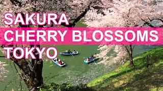 Sakura, Cherry Blossoms, in Tokyo 2015 [iPhone 6 Plus]