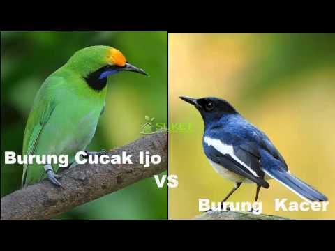 Suara Burung Cucak Ijo VS Burung Kacer
