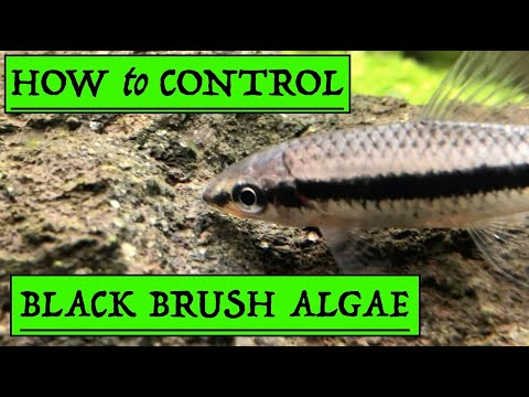 How To Control Black Brush Algae In Your Planted Aquarium? - Simple Solutions [2019]