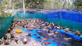 Duck Farm At Cherthala