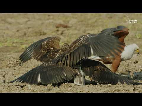 Safari Diaries: Stork Vs Fish Eagle