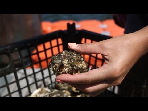Can One Billion Oysters Clean NYC's Harbor?
