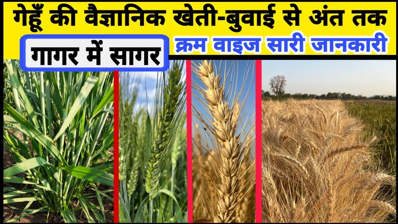 गेहूं की वैज्ञानिक खेती - बुवाई से अंत तक | Gehu ki kheti | Wheat farming | Gahu lagwad marathi