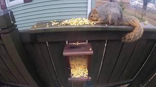 Squirrel Eating Corn thumbnail