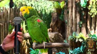 "Amazing parrot Quito sings ""Old MacDonald"""