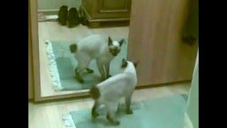 кошка и зеркало отражение