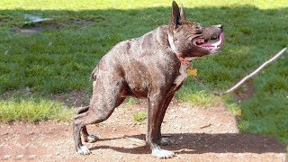 Top 10 Ancient Dog Breeds - Top 10 Most Ancient Dog Breeds - Aspin
