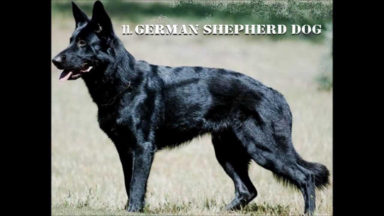 Best Mustif Gaurd Dog Breeds