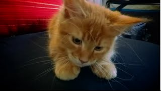 Kitten Maine Coon Slow Motion - JoJo  action video