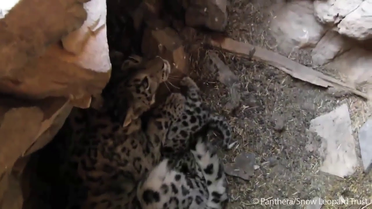 Video first snow leopard mother and cubs in den youtube
