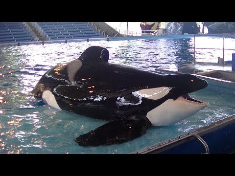 Killer Whales: Up Close(Full Show/Full HD) July 28 2015 - SeaWorld San Antonio