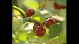 Летние ягоды для похудения и здоровья - вишня, малина, клубника -