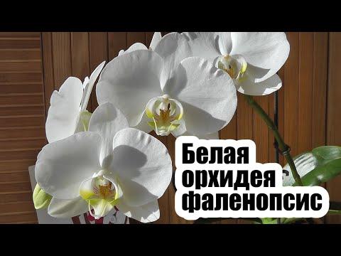 Вопрос: Правда ли, что синяя орихидея после цветения становится белой?