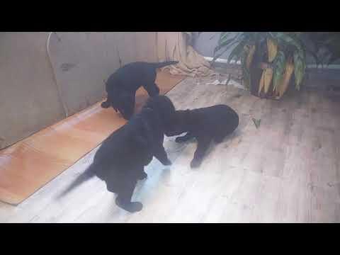 Curly Coated Retriver Puppy (Щенки курчавошерстного ретривера)