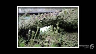 Cladonia deformis - fungi kingdom