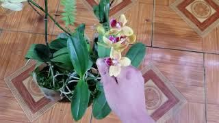 Tối 27/3 quế t8 giề và nhiều mặt hàng hoa lan bán kg giá rẻ . 0348886368