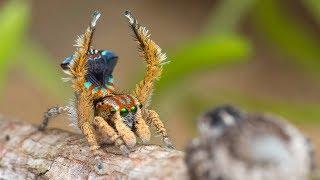 Peacock Spider 19 (Maratus unicup)