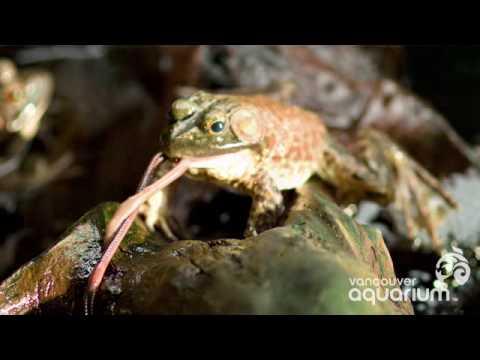 Bullfrog Ballet
