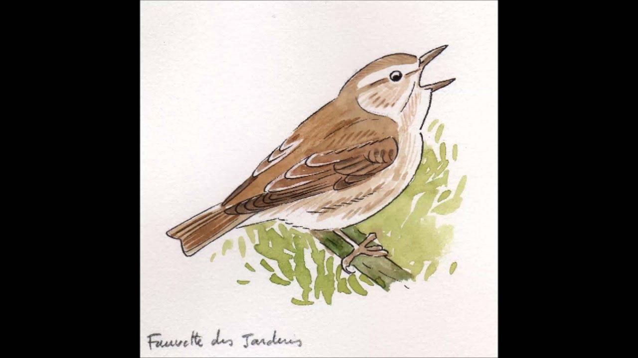 Apprendre les chants d 39 oiseaux 25 la fauvette des for Oiseaux des jardins