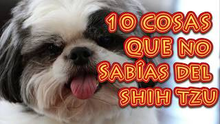 10 COSAS QUE NO SABIAS DE LOS SHIH TZU  CURIOSIDADES DE LOS SHIH TZU