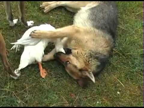 Doberman Anubis socializando com labrador from YouTube · Duration:  35 seconds