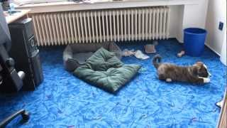 Puppy Corgi Flash - Unser Bommel Als Welpe Dreht Durch