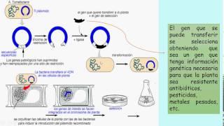 Transgenesis mediante Agrobacterium tumefaciens en plantas