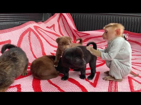 Baby Monkey | Mom Let DouDou Play With 4 Puppy Very Funny