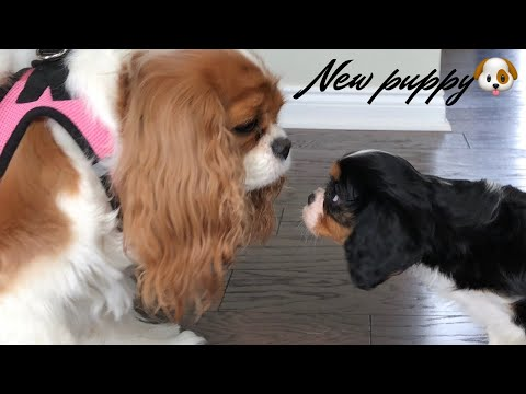 WE GOT A NEW PUPPY VLOG | CAVALIER KING CHARLES SPANIEL | + PUPPY SUPPLIES