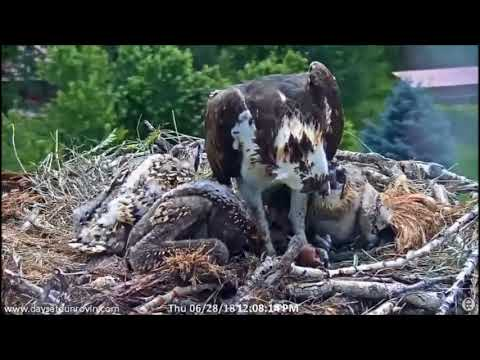 Dunrovin Ranch Osprey