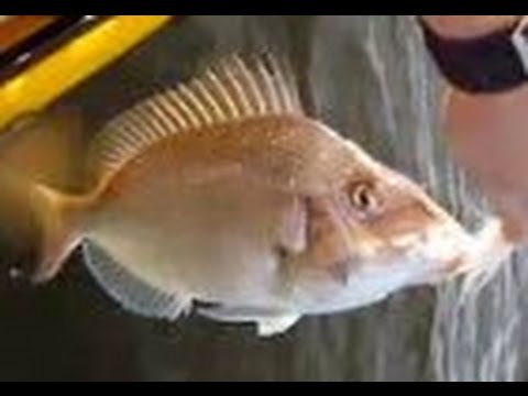 how to catch flounder with gulp