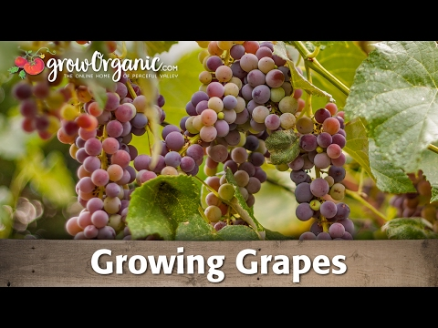 Growing Table And Wine Grapes Organically