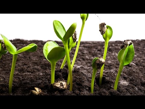 Sunflower Seeds Germination and Growth Time Lapse