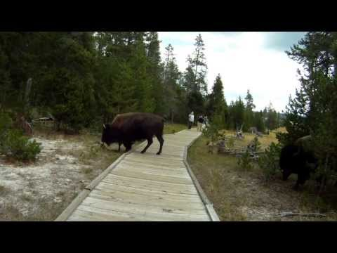 Up Close with Herd of Adult Bison in Yellowstone Dangerous [HD] GoPro