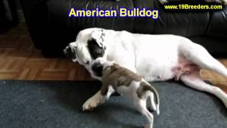 American Bulldog, Puppies, For, Sale, In, Gresham, Oregon, County, Or, Multnomah, Washington, Clacka