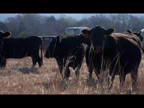 Artificial Insemination for Cattle