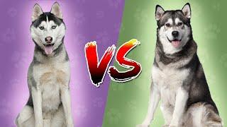 Top Dog : Siberian Husky Vs Alaskan Malamute