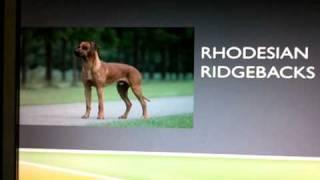 Info On: Doberman Pinschers And Rhodesian Ridgebacks