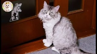 家の中を誘導する猫 Leah(Munchkin cat) guided me some rooms in upstairs.