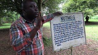 Nutmeg Tree at Aburi Botanical Gardens - Ghana May 2018 Tour